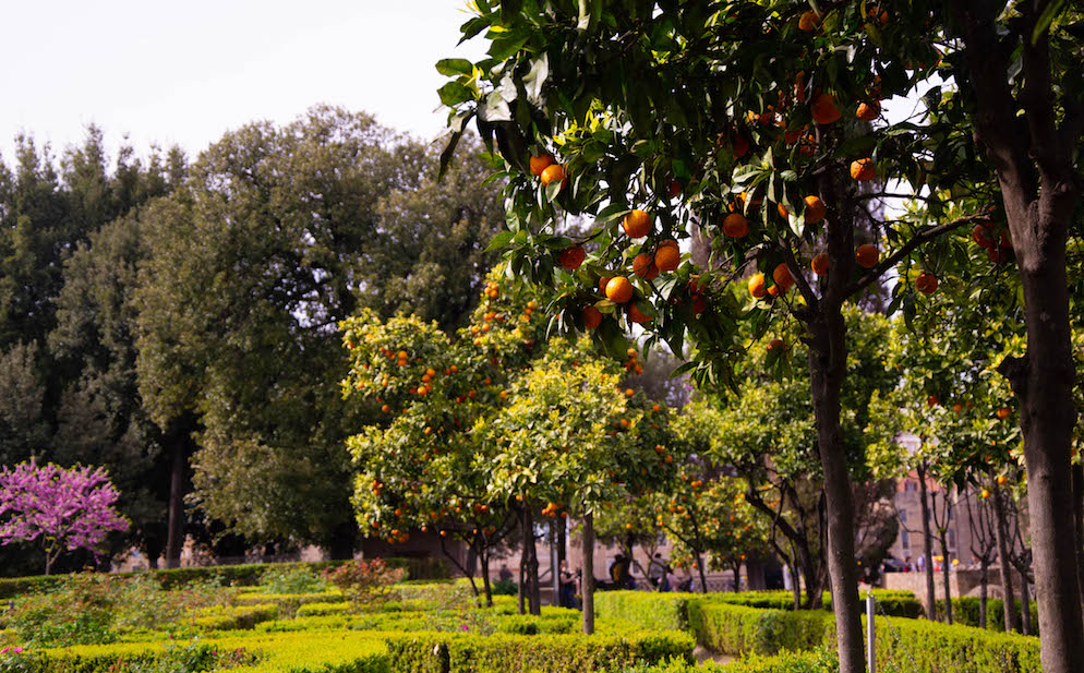 orange tree palatino hill rome